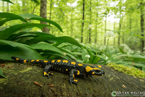 fire salamander Germany