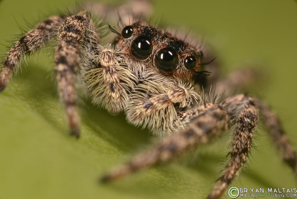 jumping spider closeup compount eyes