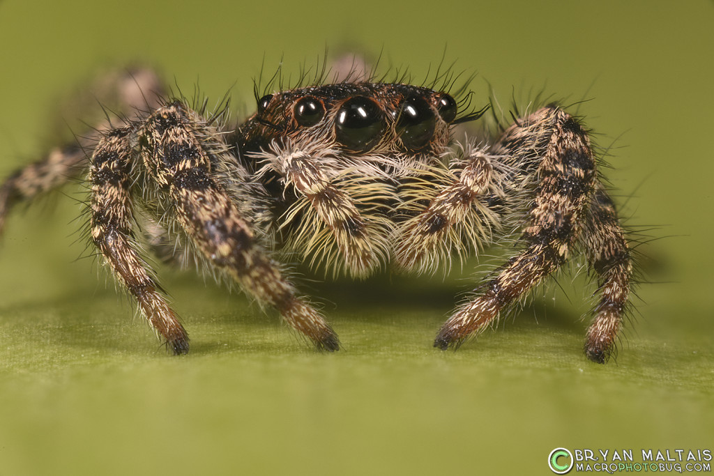 jumping spider super macro photography