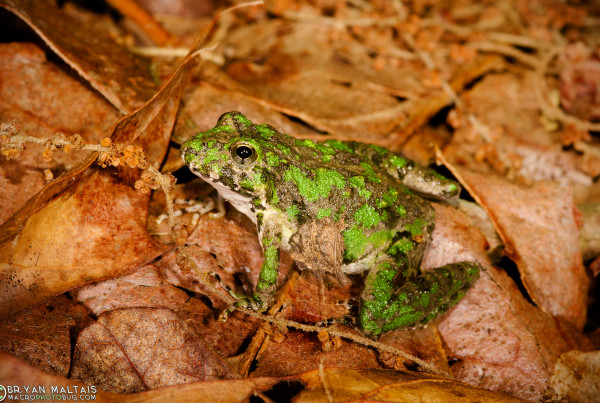Northern Cricket Frogs (Acris crepitans) tend to be very common around limestone streams.