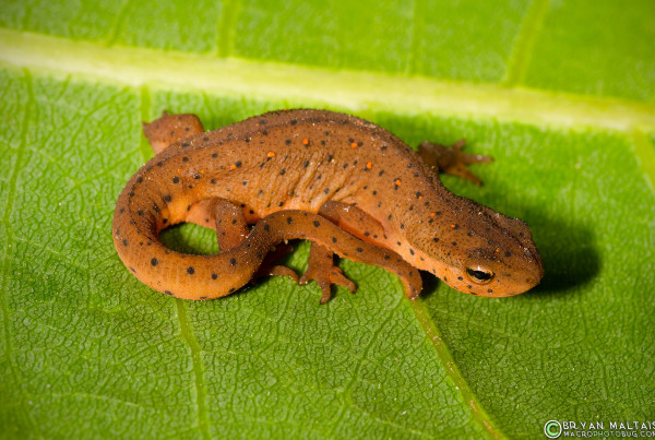 This is the Eft (terrestrial stage) of the Estern Newt (Notophthalmus viridescens louisianensis). Adults have flattened tails for swimming and live in fishless ponds.