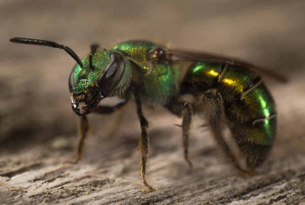 green sweat bee 2stackmanual 24mm