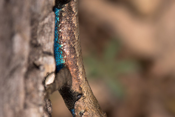rairie Lizard (Sceloporus consobrinus). Male have turqoise ventrums during the breeding season.