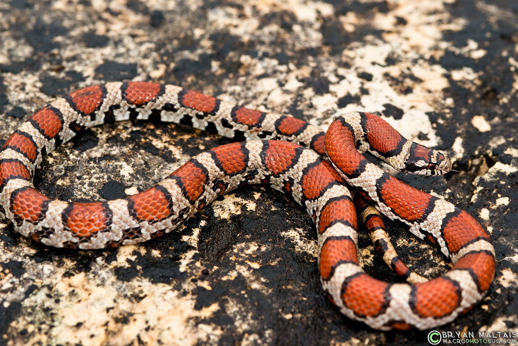 red milk snake 2 missouri herping lampropeltis triangulum