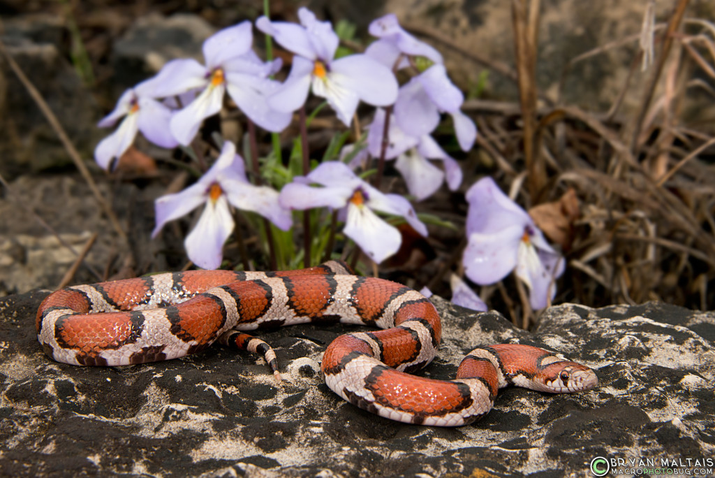 red milk snake missouri herping lampropeltis triangulum