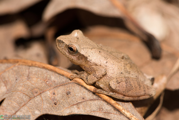 The Spring Peeper (Pseudacris crucifer), though extremely common, and heard loudly from nearly any body of water in Spring, this miniscule Treefrog is rarely actually seen.