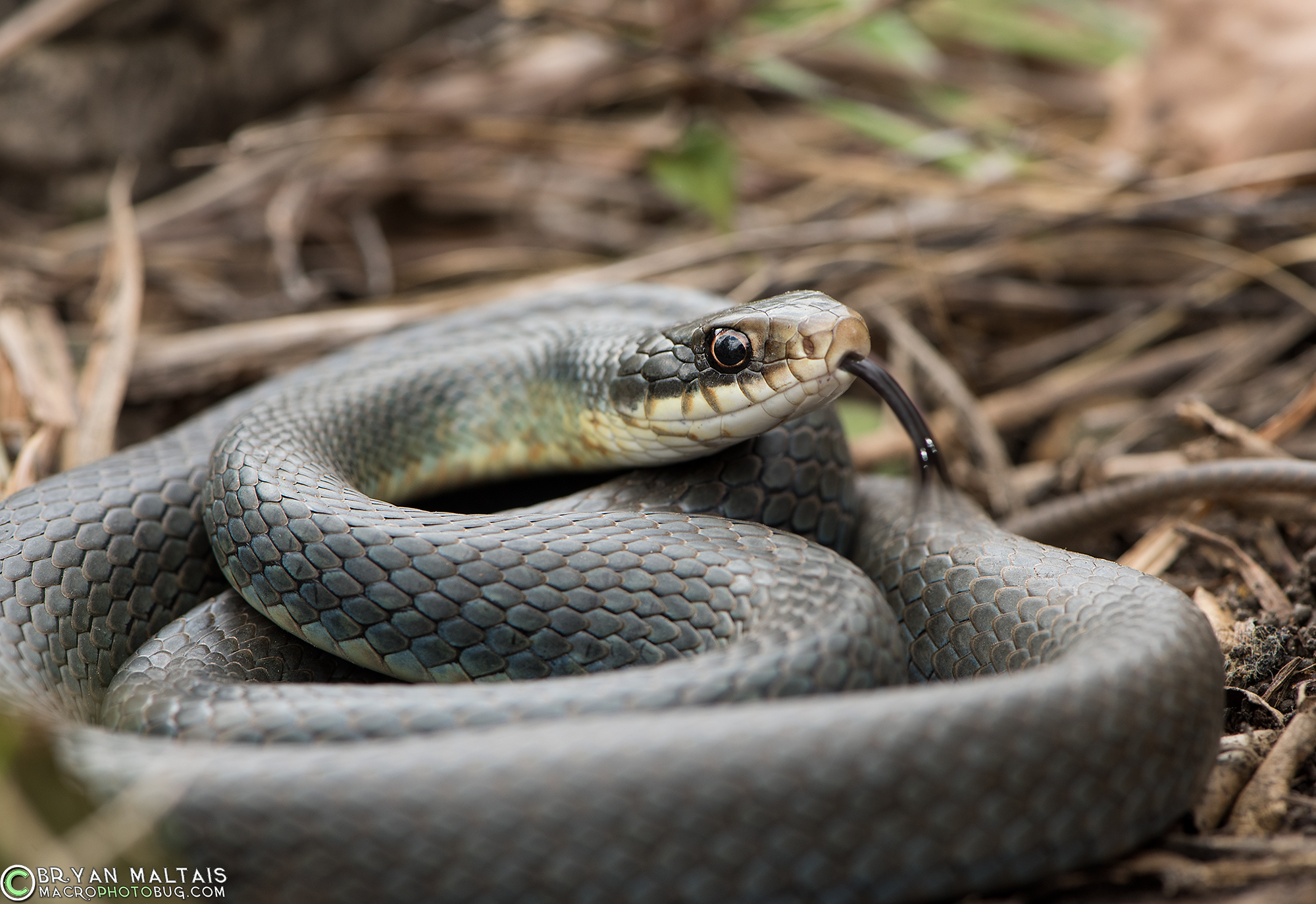 Eastern Yellow Bellied Racer Coluber Constrictor Flaviventris Among The Fastest And