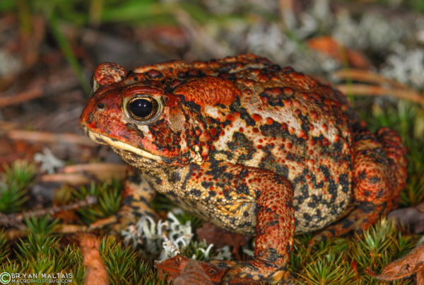 american toad canada