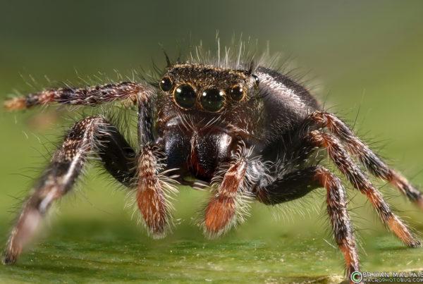 A female Bold Jumping Spider