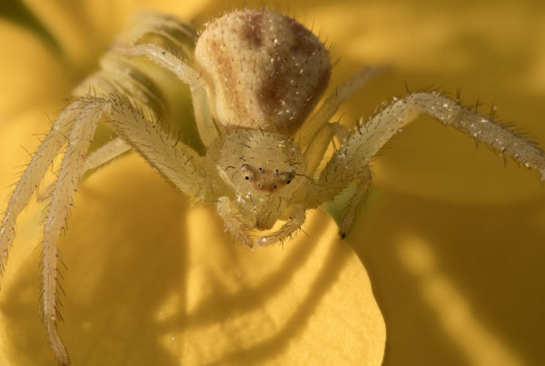 crab spider zerene15 f56 200th iso200