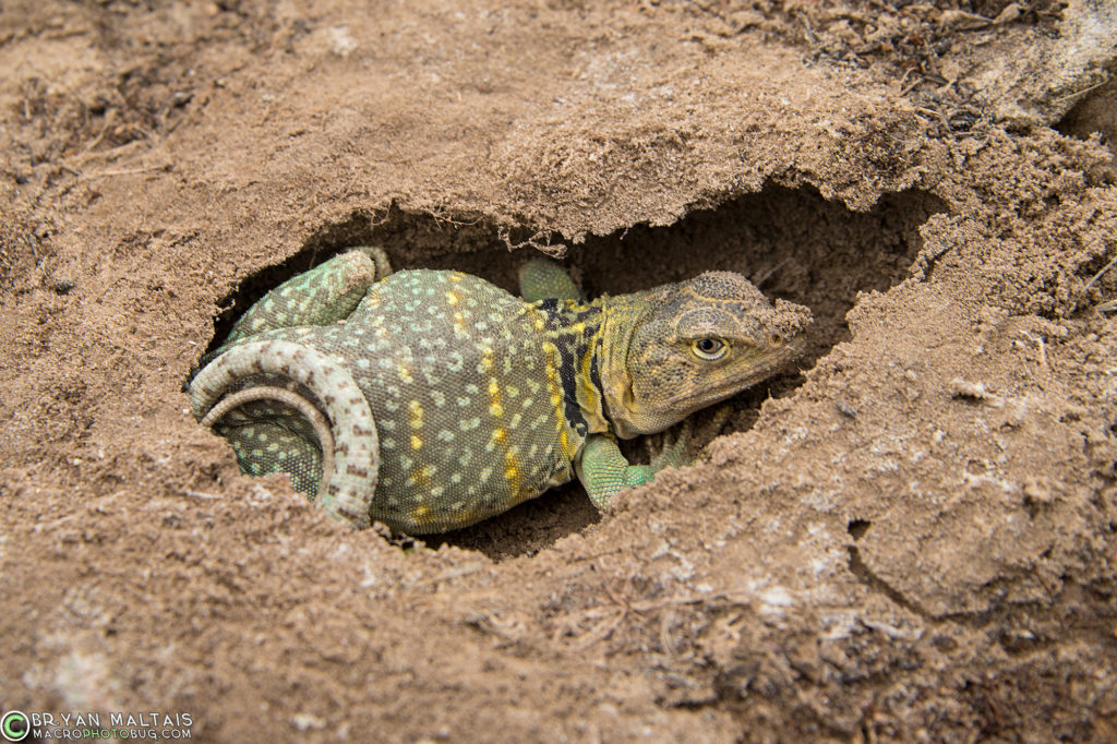 Even by late May Collared Lizards can still not have emerged from their hibernation burrows.