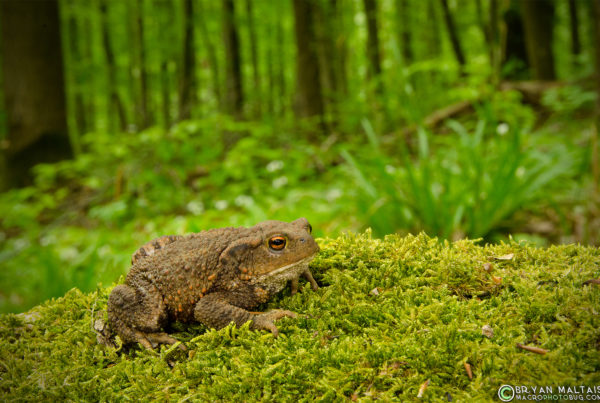 european common toad bufo bufo