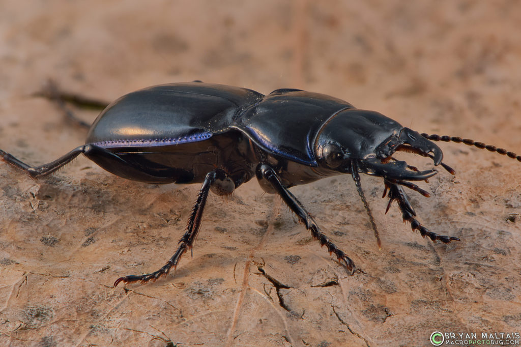In a survey, 9 out of 10 Big-headed Ground Beetles prefer diffused light to direct flash.