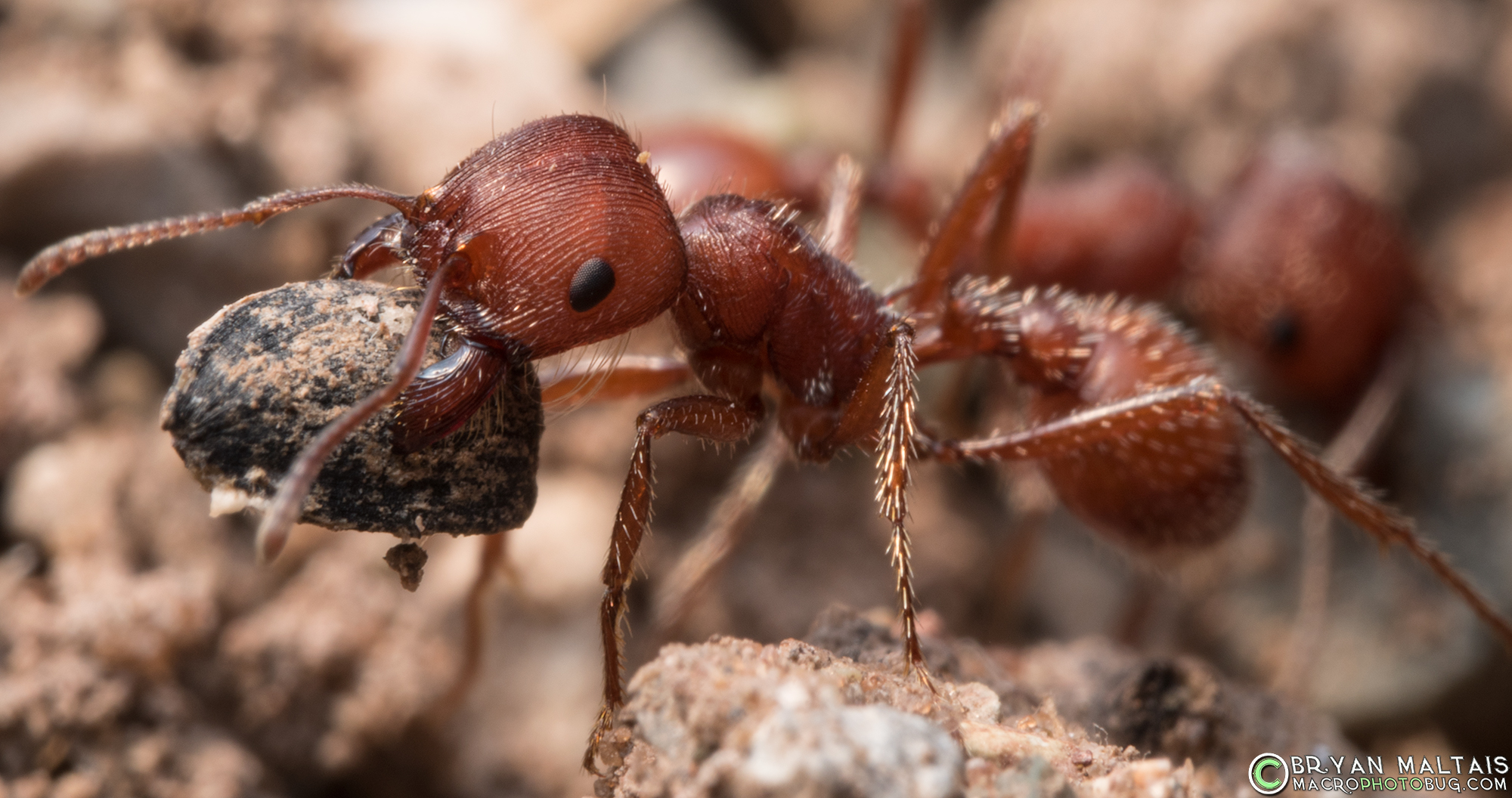 Red harvester ant  Wikipedia