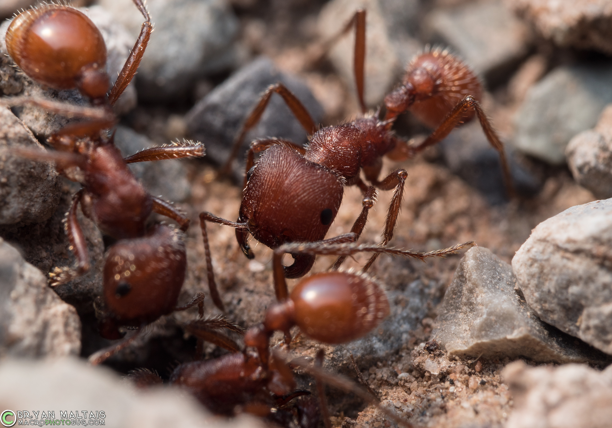 Red Harvester Ant Insect Macro Photos