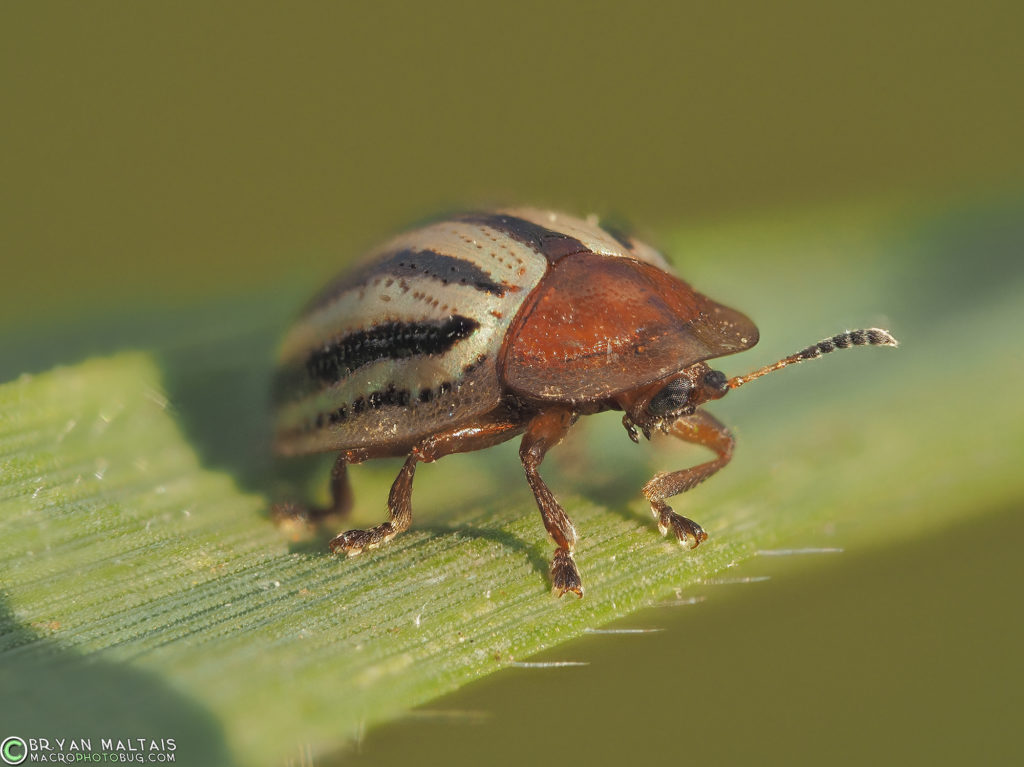striped tortoise beetle zerene30 iso200 f56 125th rayonx250