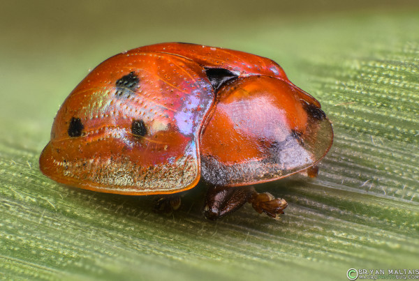red golden tortoise beetle 18-55mm at 18 zerene37