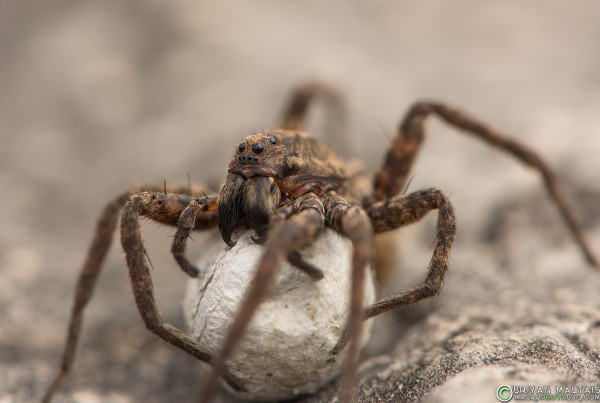 wolf spider fangs 105