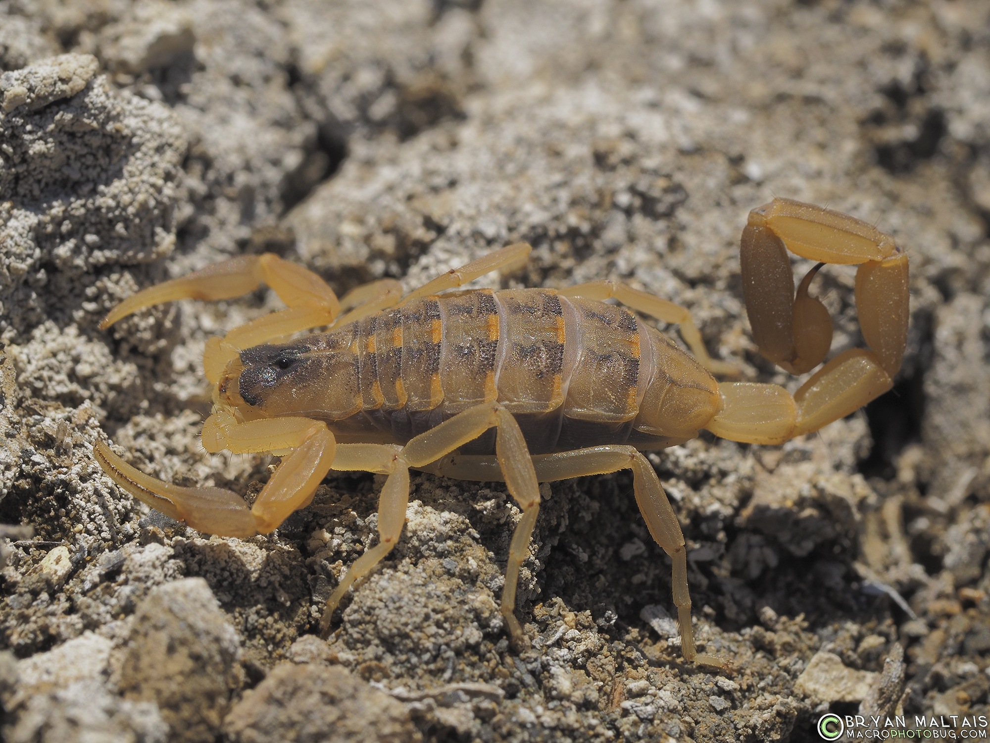 Striped Bark Scorpion Colorado