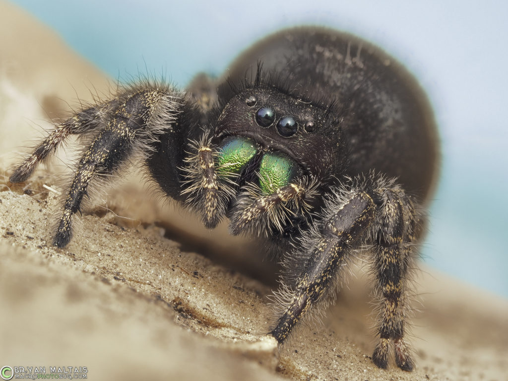 bold jumping spider female 20stack f56 iso200 60th cloudy