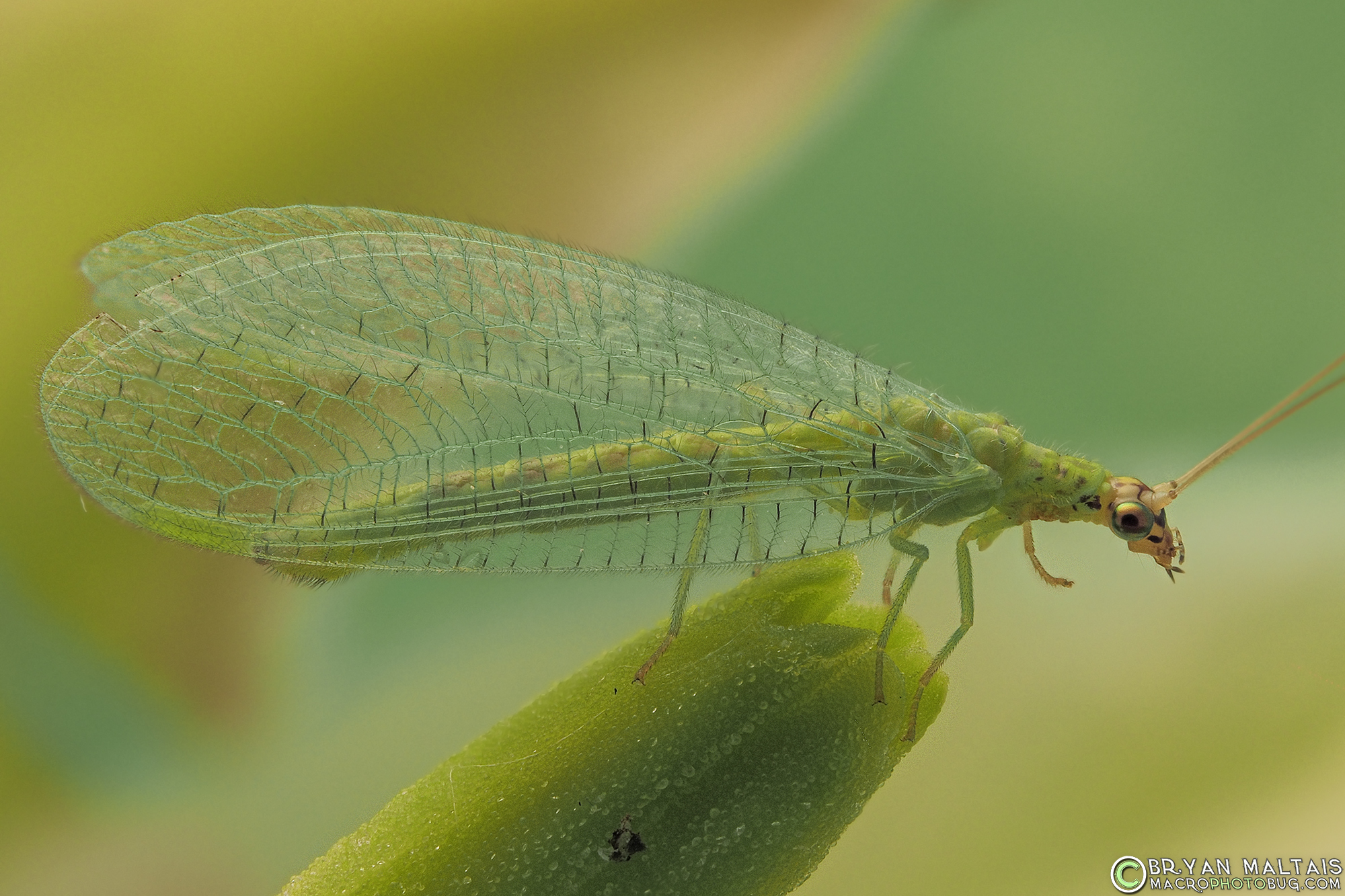 Green Lacewing Insect Macro Photography