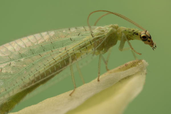 green lacewing insect macro photo