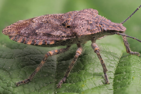 rough stink bug Brochymena