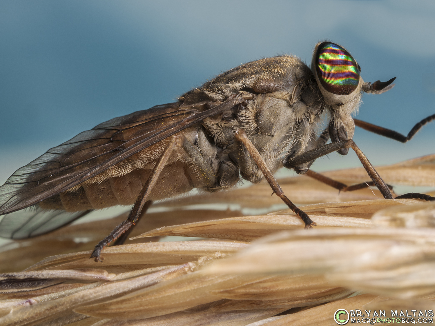 Horse Fly Insect Macro Photography