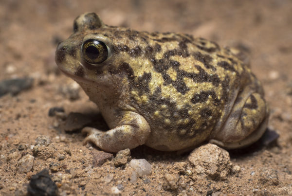 A colorful female Couch's Spadefoot Toad