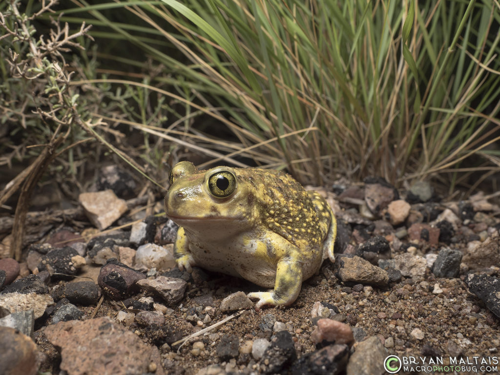 couch's spadefoot toad (Scaphiopus couchii)