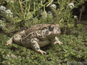 great plains toad Anaxyrus cognatus