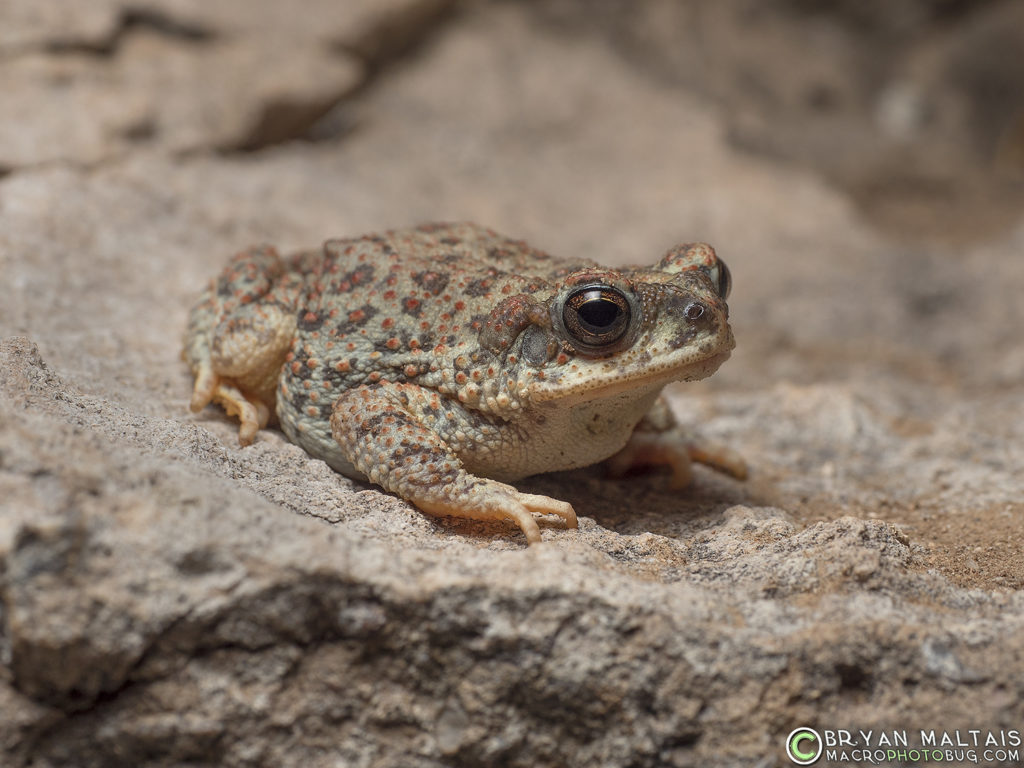 red spotted toad arizona sonora desert
