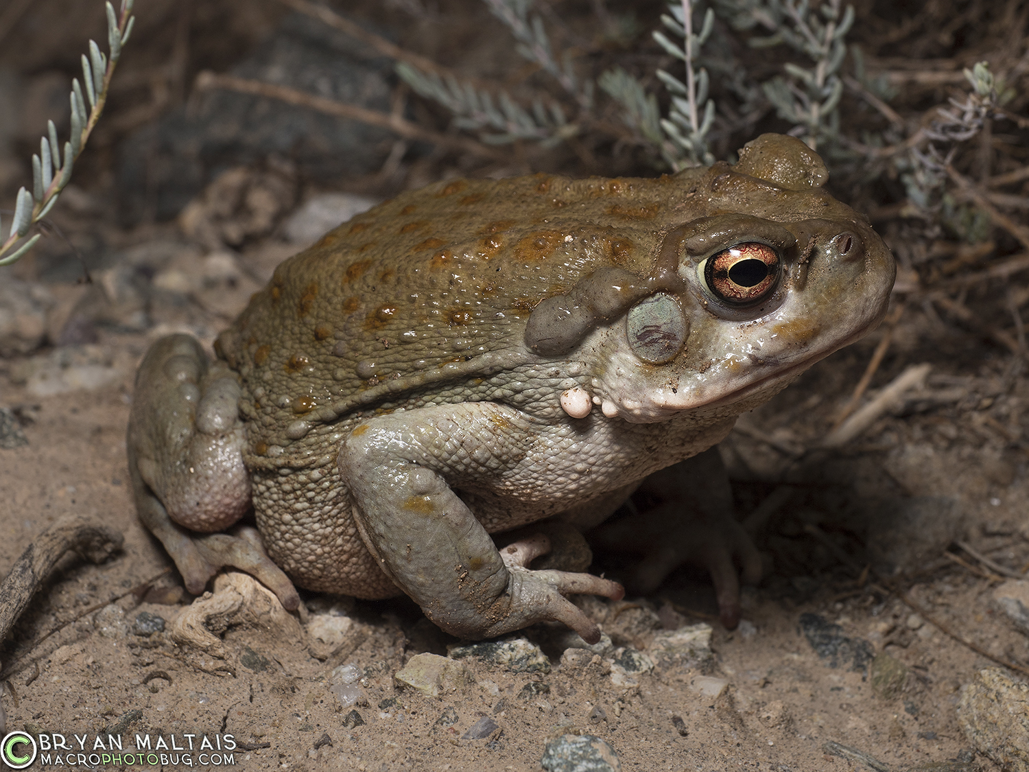 Sonoran desert toad pictures
