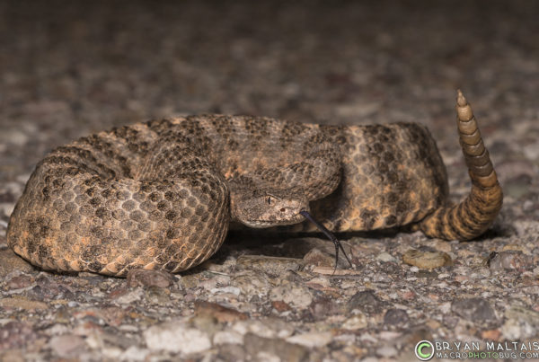 Tiger Rattlesnake Arizona