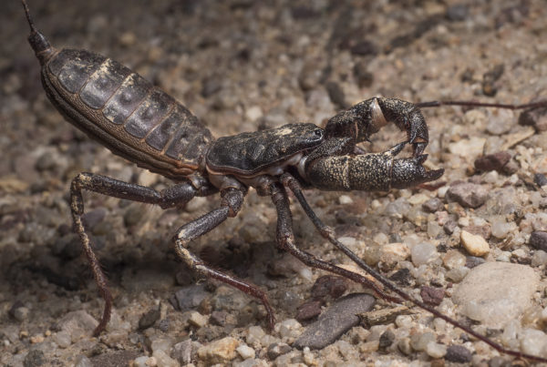 vinageroon giant whip scorpion arizona Mastigoproctus giganteus side