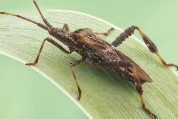leptoglossus-occidentalis-western-conifer-seed-bug