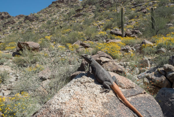 Chuckwalla in habitat arizona reptile photography