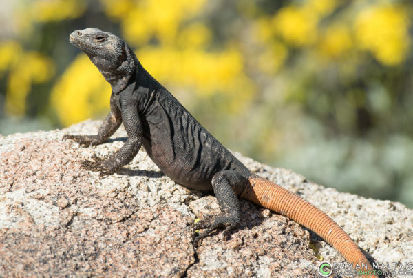 carrot tail chuckwalla phoenix arizona reptile photography