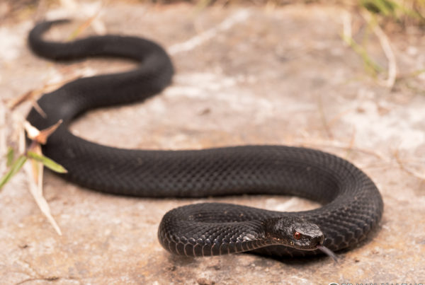European Adder Vipera berus black morph