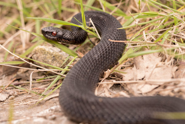 Common European Adder Vipera berus black morph reptile photography