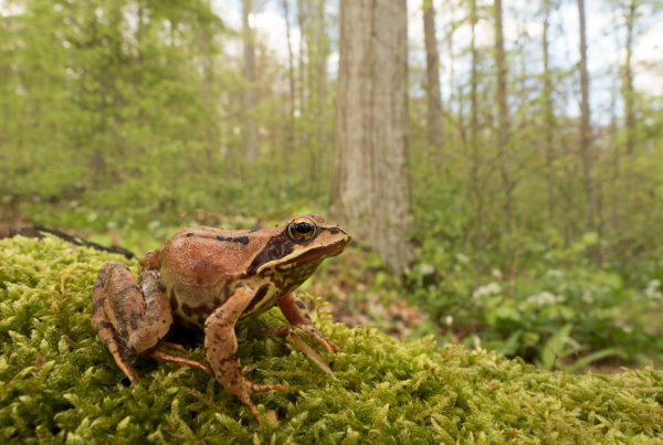Common Frog Rana temporaria Amphibian Photos