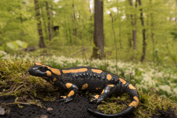 Fire Salamander Germany in habitat amphibian photography