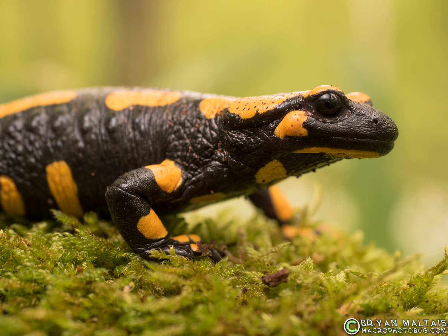 Fire Salamander Portrait Amphibian Photography