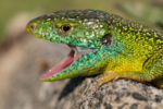 Germany Herping: In search of the Emerald Lizard