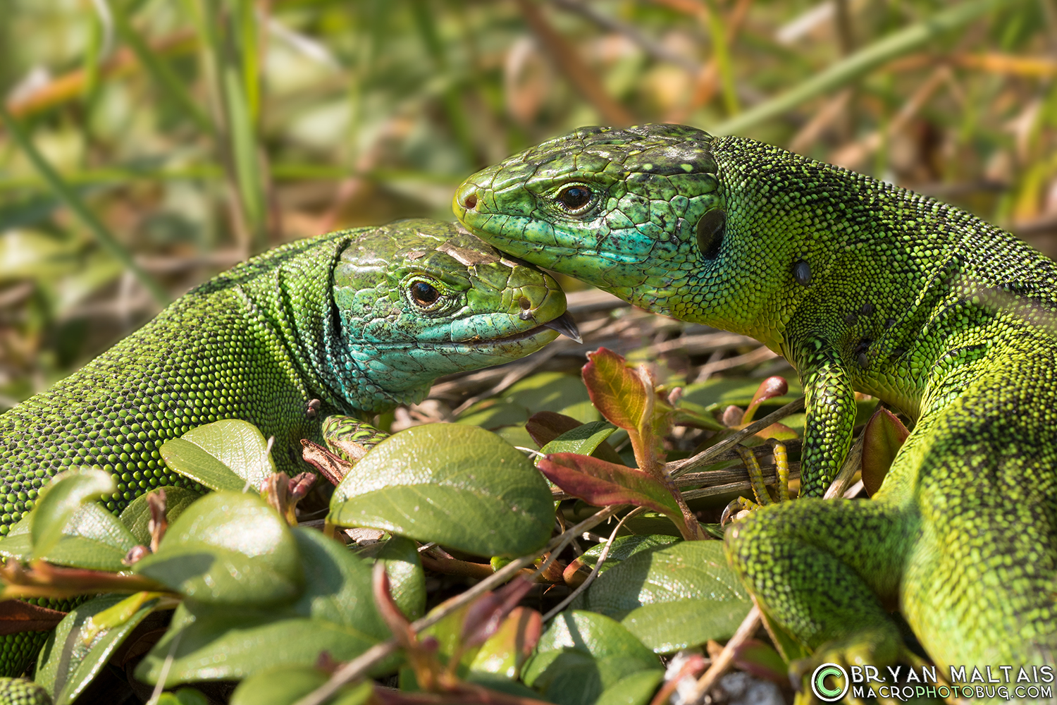 Green Lizard pair Lacerta bilineata germany reptile photography