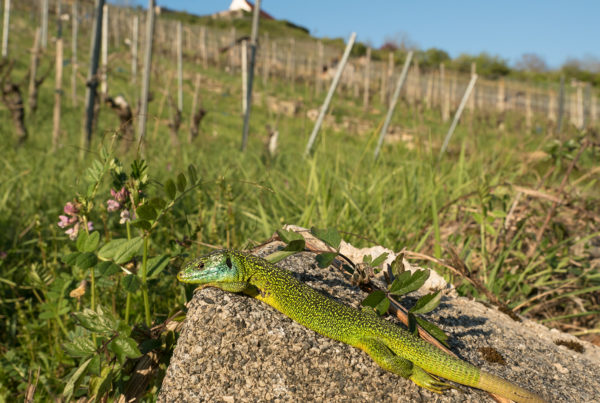 green lizard Lacerta bilineata in habitat reptile photography