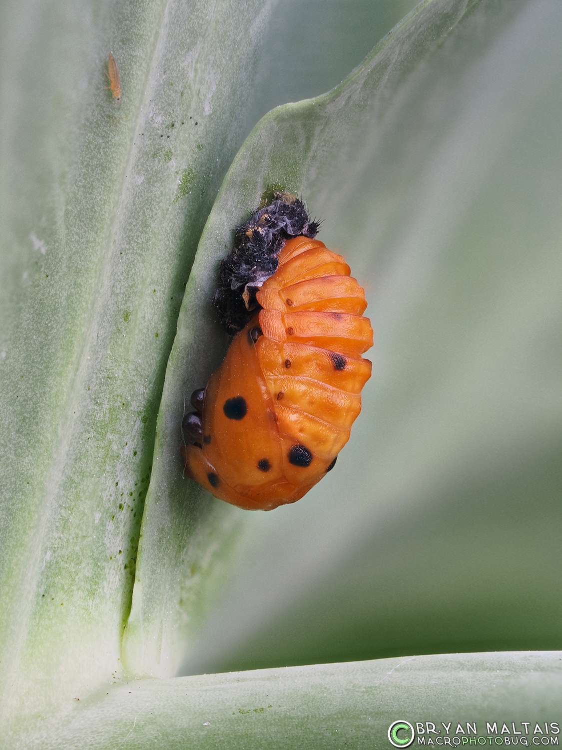 ladybird beetle pupa insect macro photos 42stack f4 40th iso400