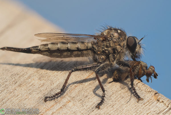 robber fly with prey insect macro photography 29pmax f4 400th iso200