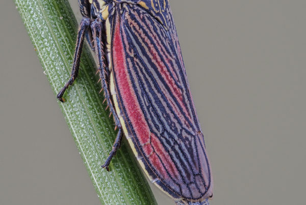 striped leafhopper insect macro photos 34dmap f4 30th iso400