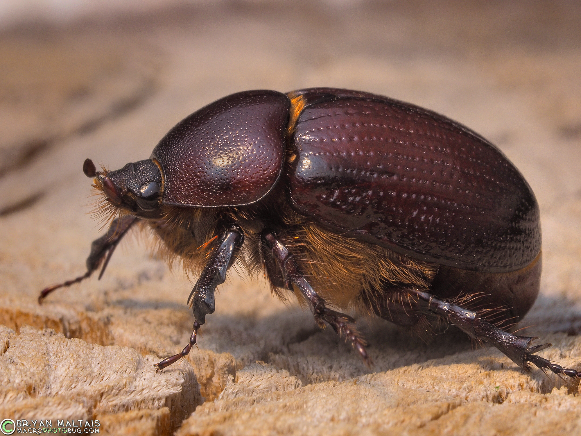 may june beetle - HD 2000×1500